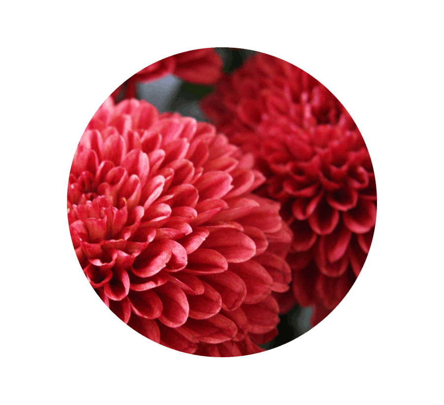 chrysanthemum-november