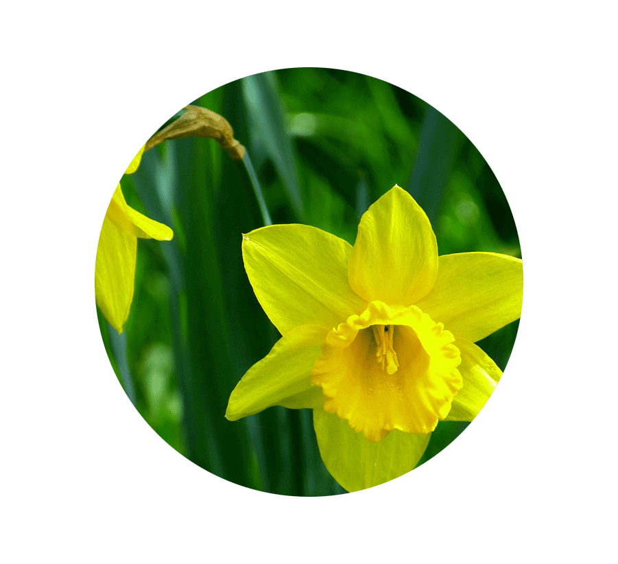 daffodil-march