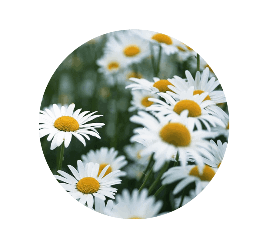 daisy-april
